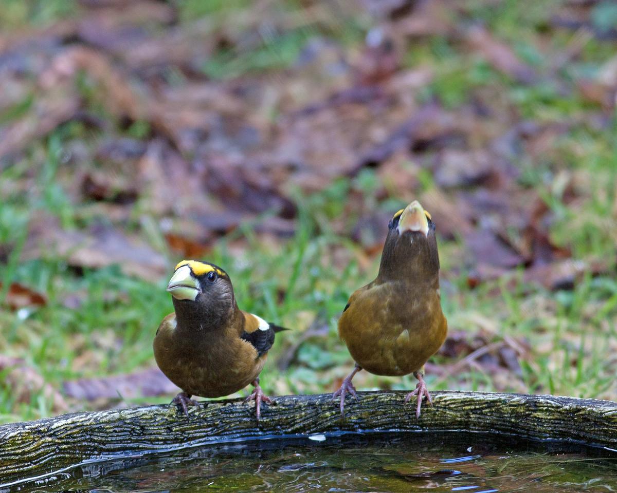 Evening Grosbeak   Males
