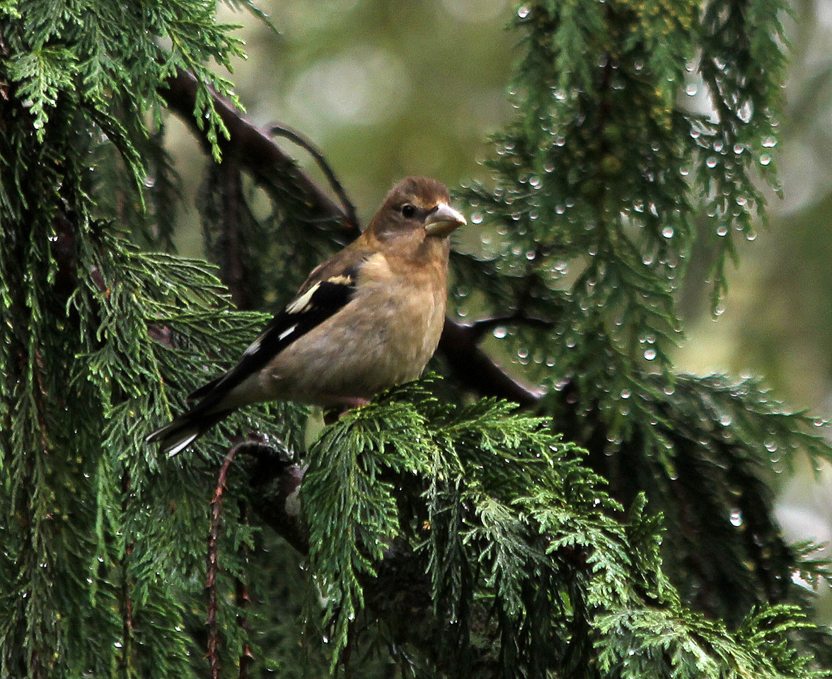 Black-headed Grosbeak  Immature