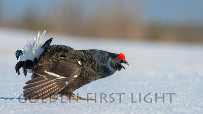 Black Grouse, Kuusamo Finland