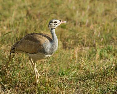 White-bellied Bustard, Kenya
