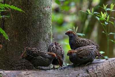 Spot-winged Wood-Quail, Intervales State Park, Brazil
