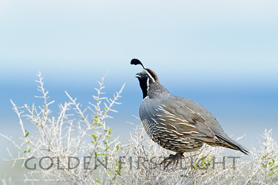 California Quail, Malheur National Wildlife Refuge