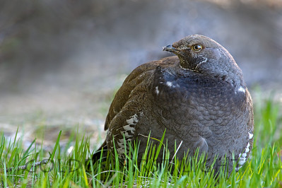 Dusky Grouse, Signal Mountain, Grand Tetons National Park