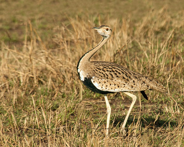 Black-bellied Bustard, Kenya