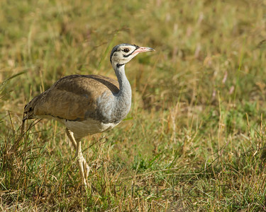 White-bellied Bustard, Kenya