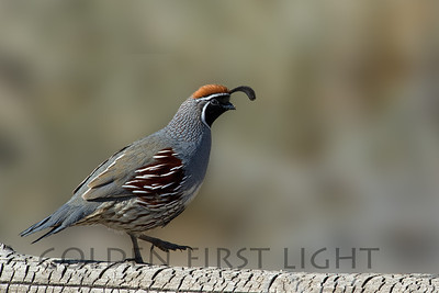 Gamble's Quail, Bosque del Apache National Wildlife Refuge