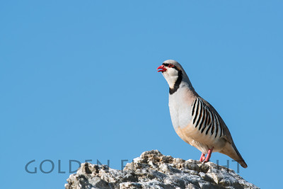 Chukar, Antelope Island, Great Salt Lake Utah