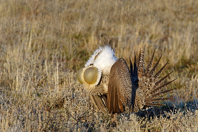 Greater Sage Grouse, Malheur National Wildlife Refuge