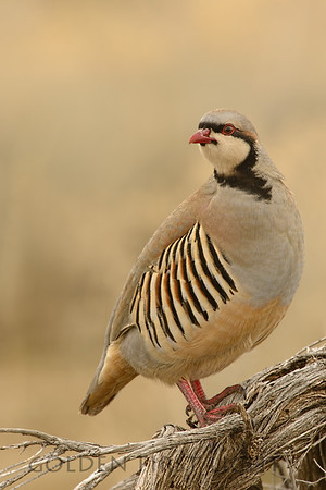Chukar, Antelope Island, Great Salt Lake, Utah