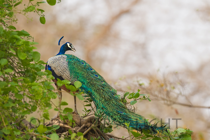 Indian Pea-fowl