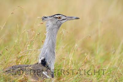 Kori Bustard, Kenya