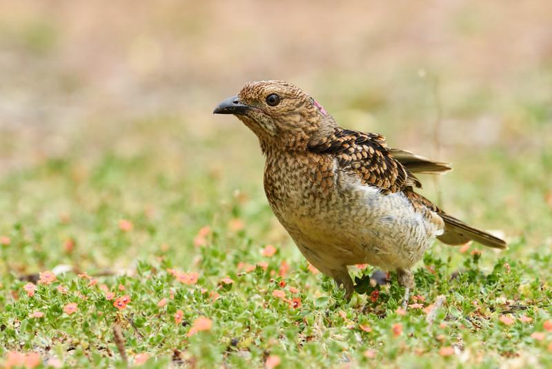 Spotted bowerbird (Chlamydera maculata)
