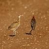 Ring-necked Pheasant fledglings (4)