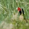 Ring-necked Pheasant (1)