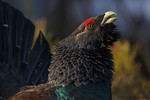 Capercaillie (Tetrao urogallus)