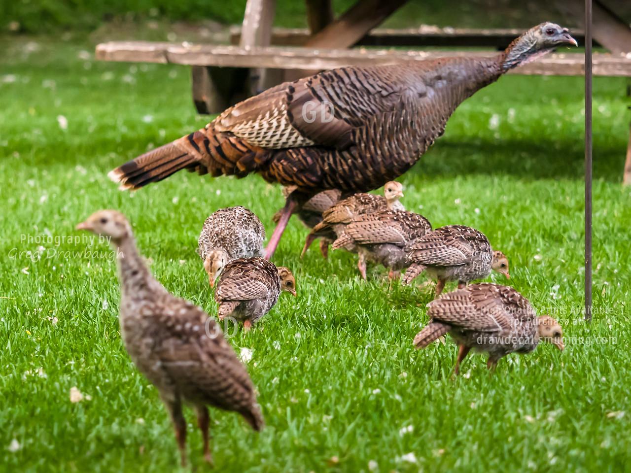Backyard Turkeys