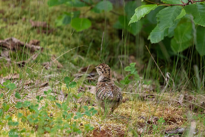 0U2A6963 _Grouse Chick