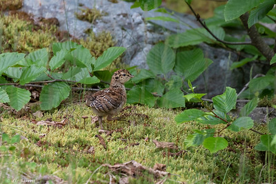 0U2A6972_Grouse Chick