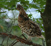 Ruffed Grouse (b0841)