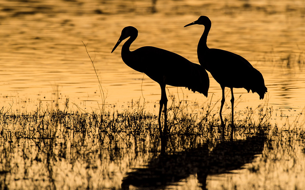 Sandhill cranes silhouetted at sunset