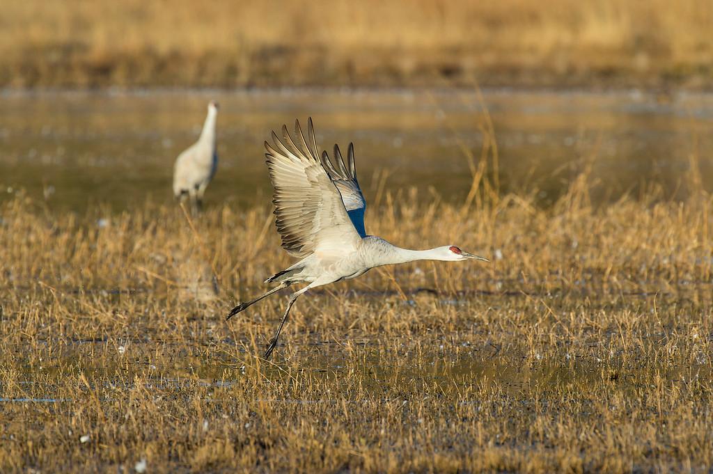 Sandhill crane taking off