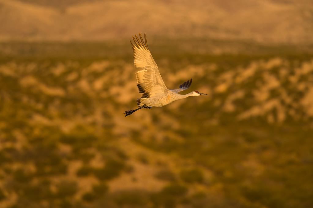 Sandhill crane at dawn
