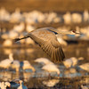 Sandhill crane at sunrise