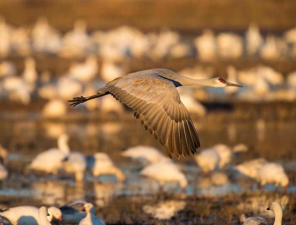 Sandhill crane at sunrise