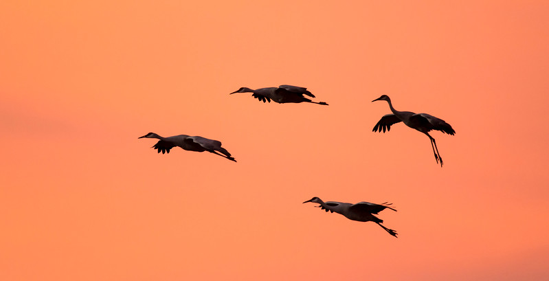 Sandhill cranes silhouetted in flight at sunset