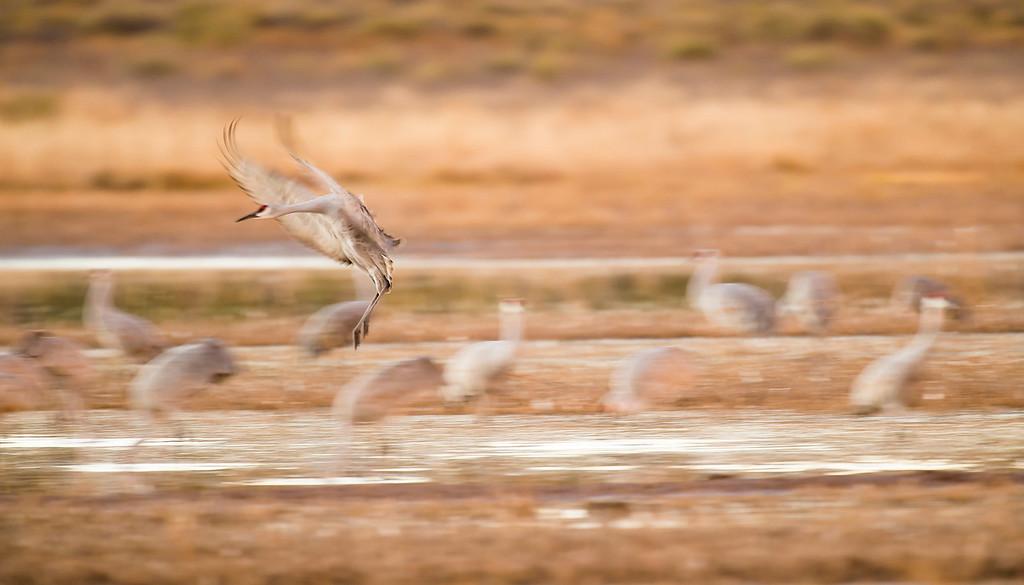 Sandhill crane blurs