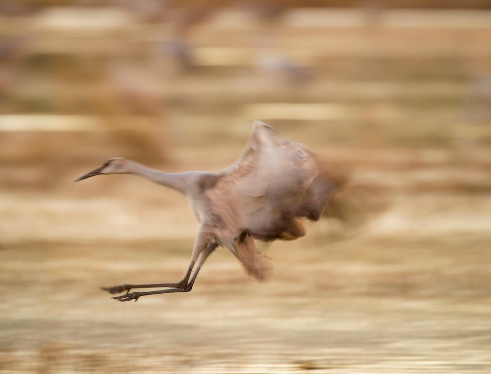 Sandhill crane blur