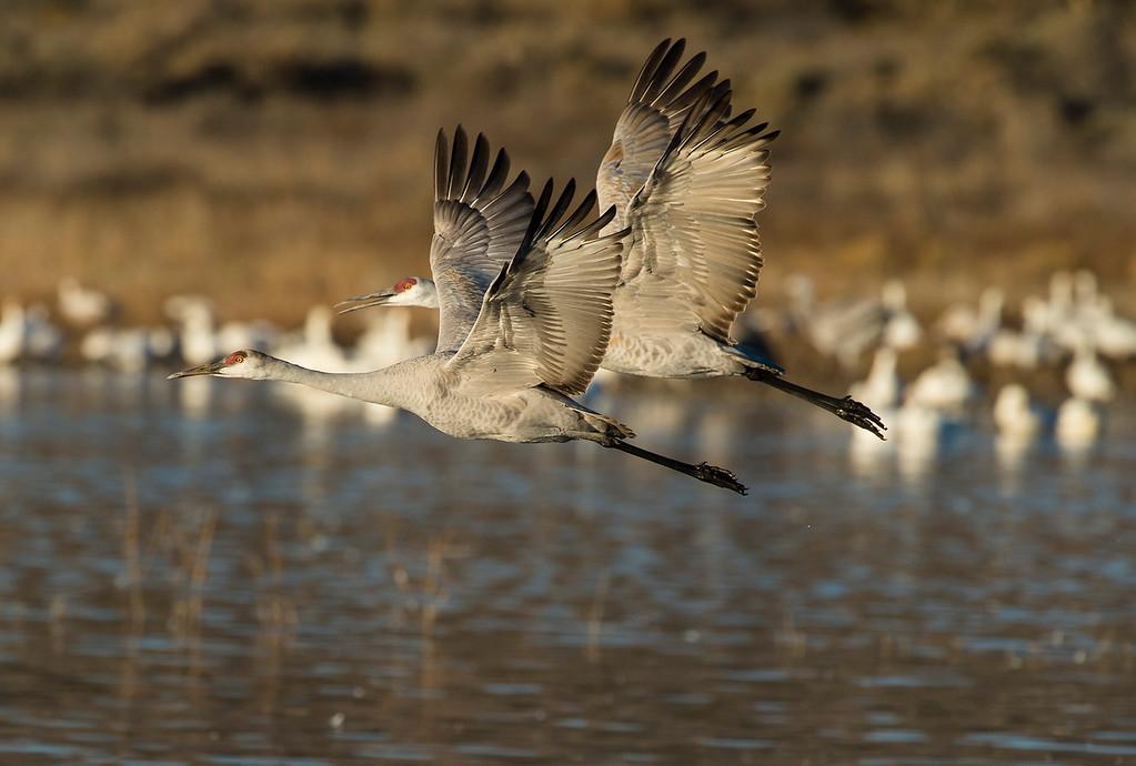 Sandhill cranes in tandem flight