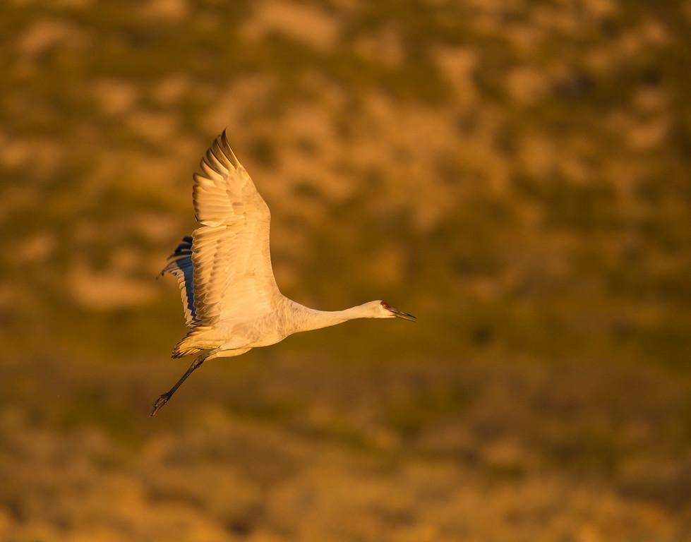 Sandhill crane in flight at Sunrise