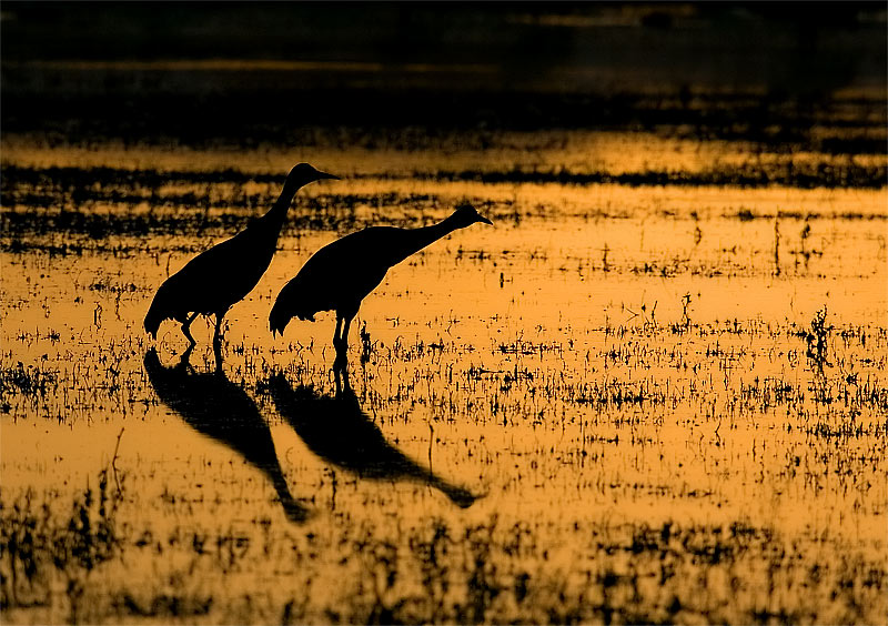 Sandhill cranes sillouetted by the setting sun.