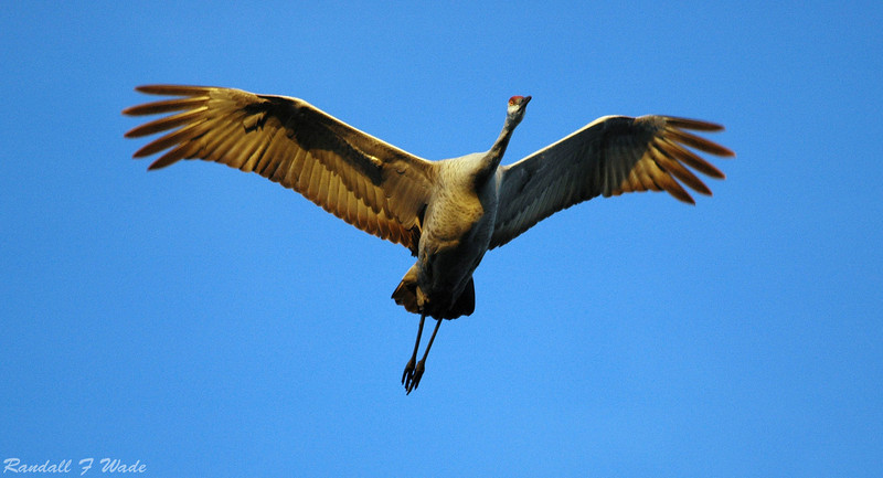 Sandhill Crane Overflight