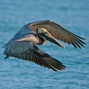 Gulf Pelicans