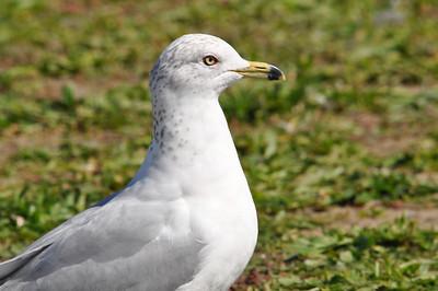 Gull ID