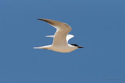Gull-billed Tern