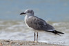 Laughing Gull (b0874)