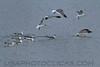 Laughing Gull (b0876)