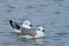 Laughing Gull (b0875)