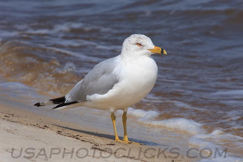 Ring Billed Gull (b0883)