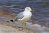 Ring Billed Gull (b0883)