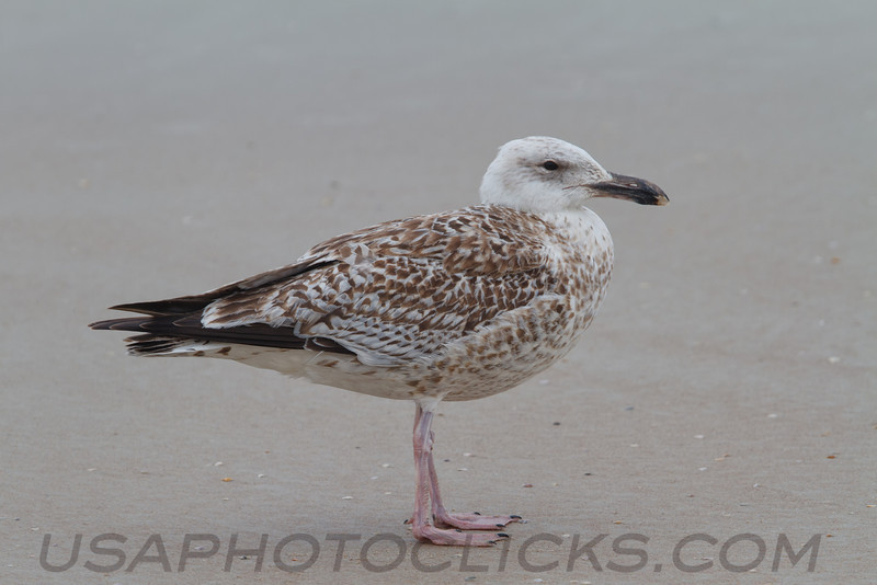 Great Black Backed Gull (b0851)