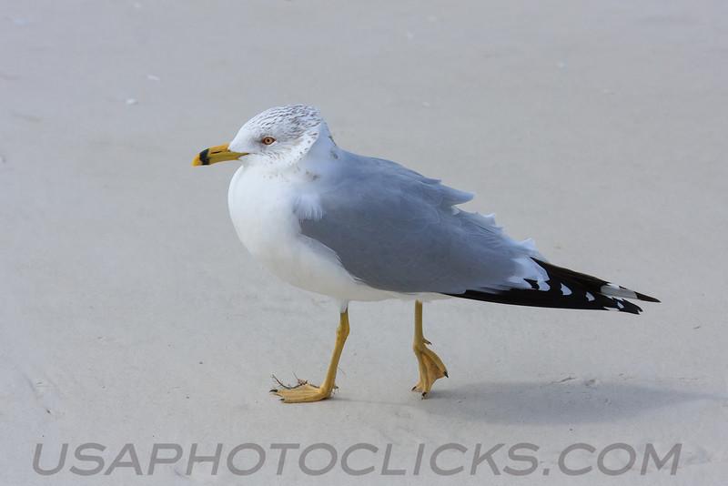 Ring Billed Gull (b0882)
