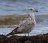 Glaucous Gull (b0861)
