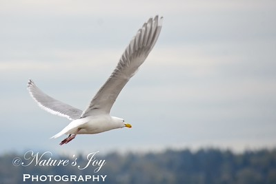 Glaucous=winged Gull