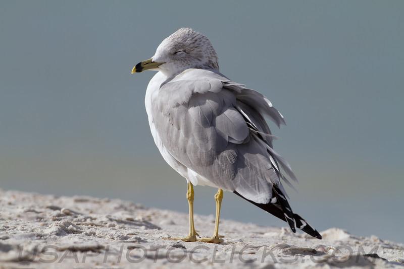 Ring Billed Gull (b0884)