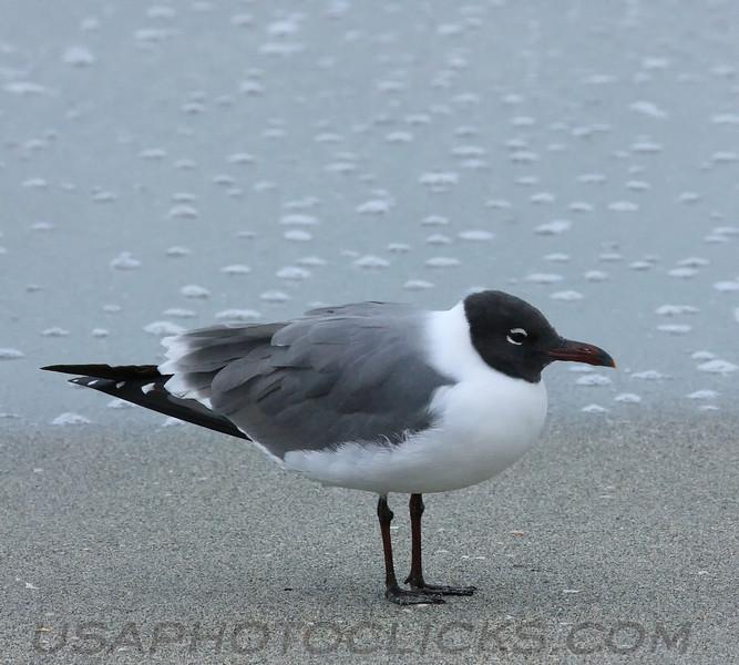 Laughing Gull (b0871)