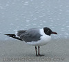 Laughing Gull (b0871)